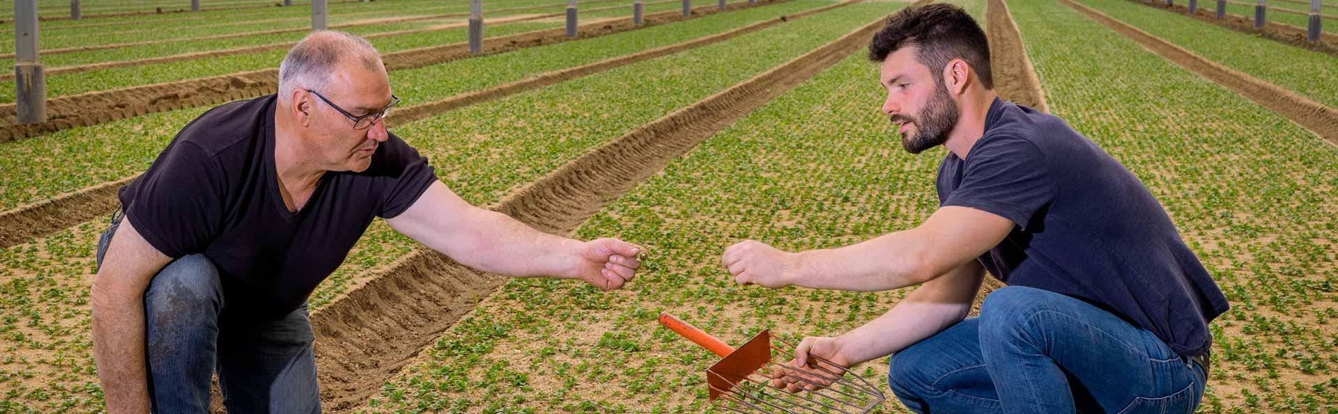 Alain et Thomas inspectent leur champ de mâche en région nantaise