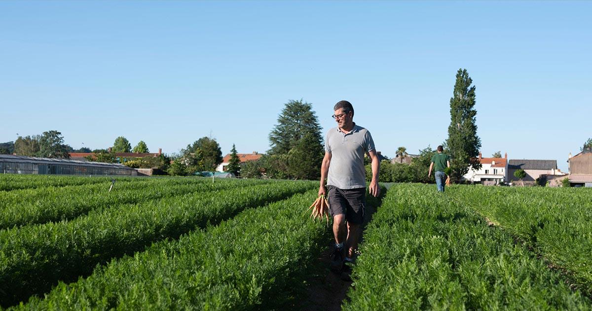 Bertrand et son frère Louis, marchant dans les rangs de leur champ de carotte