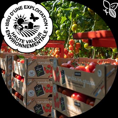 Logo HVE et piles de colis carton de tomates rondes en grappe devant des plants de tomates du Potager de Jade