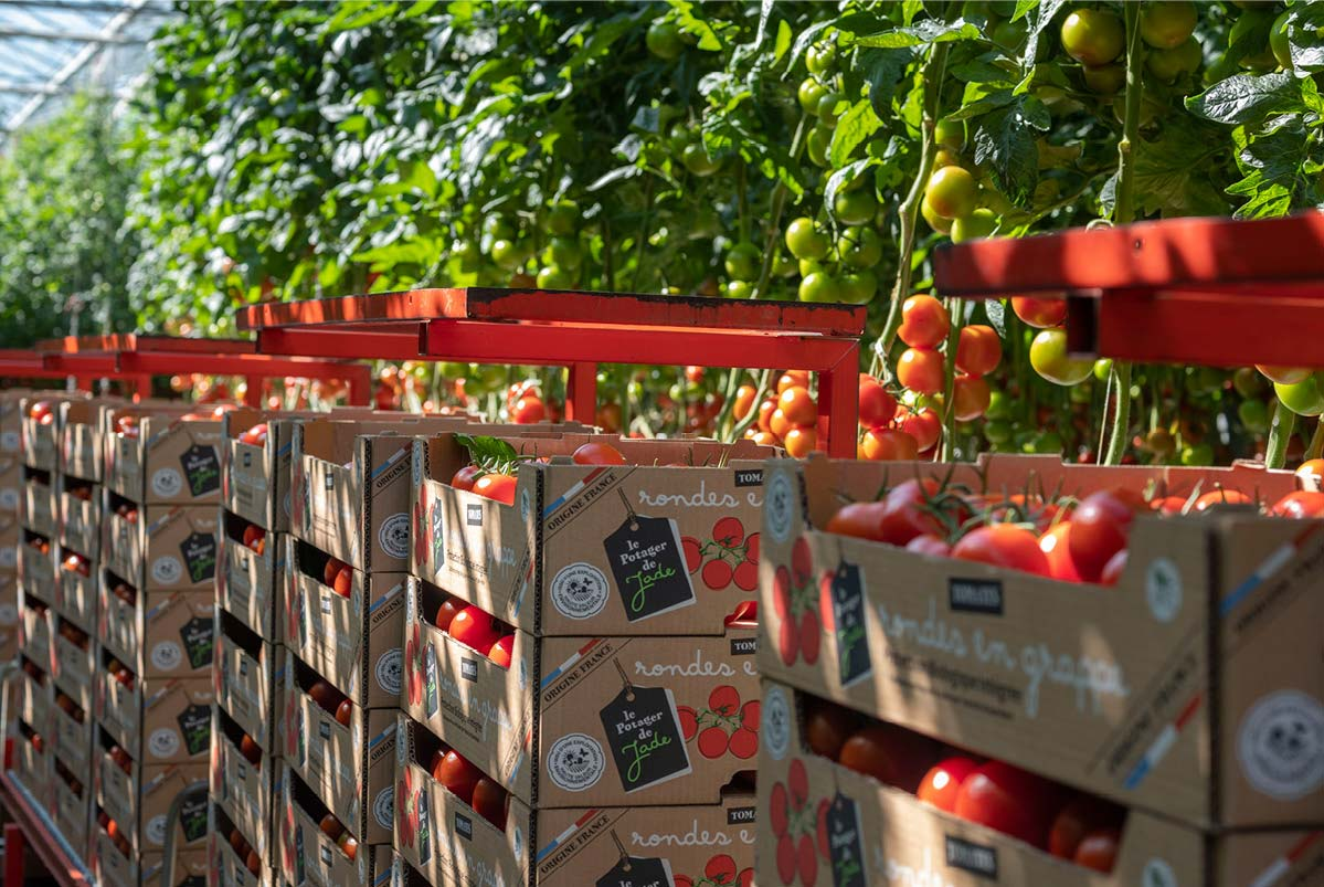 Cartons de tomates rondes en grappe, empilés et alignés, devant des pieds de tomates, dans une serre ensoleillée