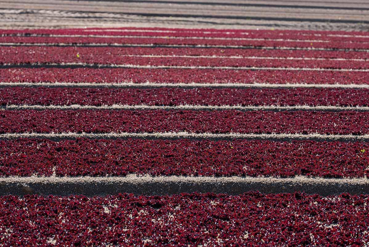 Champ de jeunes pousses de laitue feuilles de chêne rouge en planches
