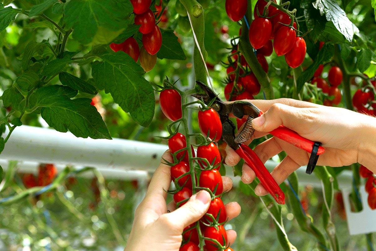 Récolte manuelle d'une grappe de tomates cerise allongées, à l'aide d'un sécateur