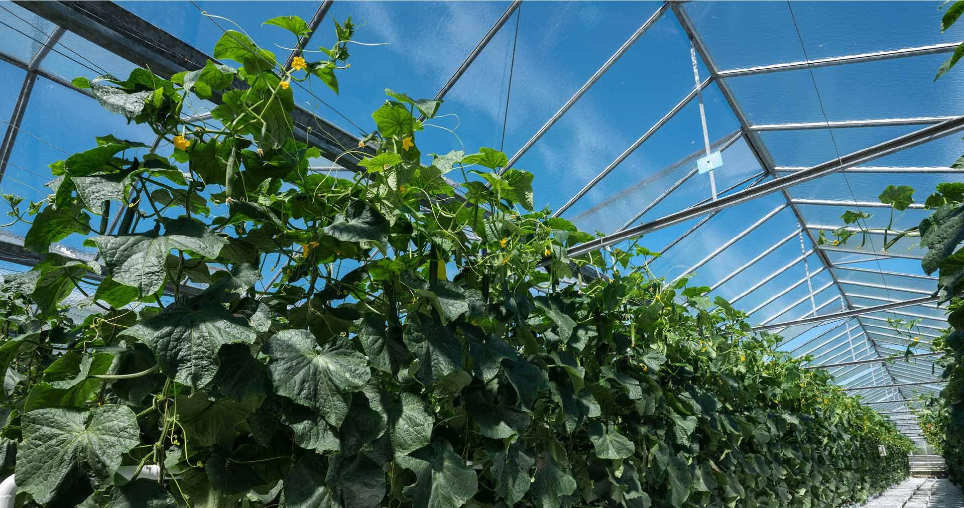 Intérieur d'une serre verre HVE : culture de concombres, sous un ciel bleu