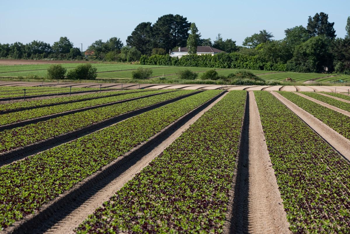 Perspective d'un champ de jeunes pousses de salades mélangées