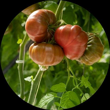 Détail sur une grappe de tomate côtelée rouge sur un pied de tomate dans la serre de yannick
