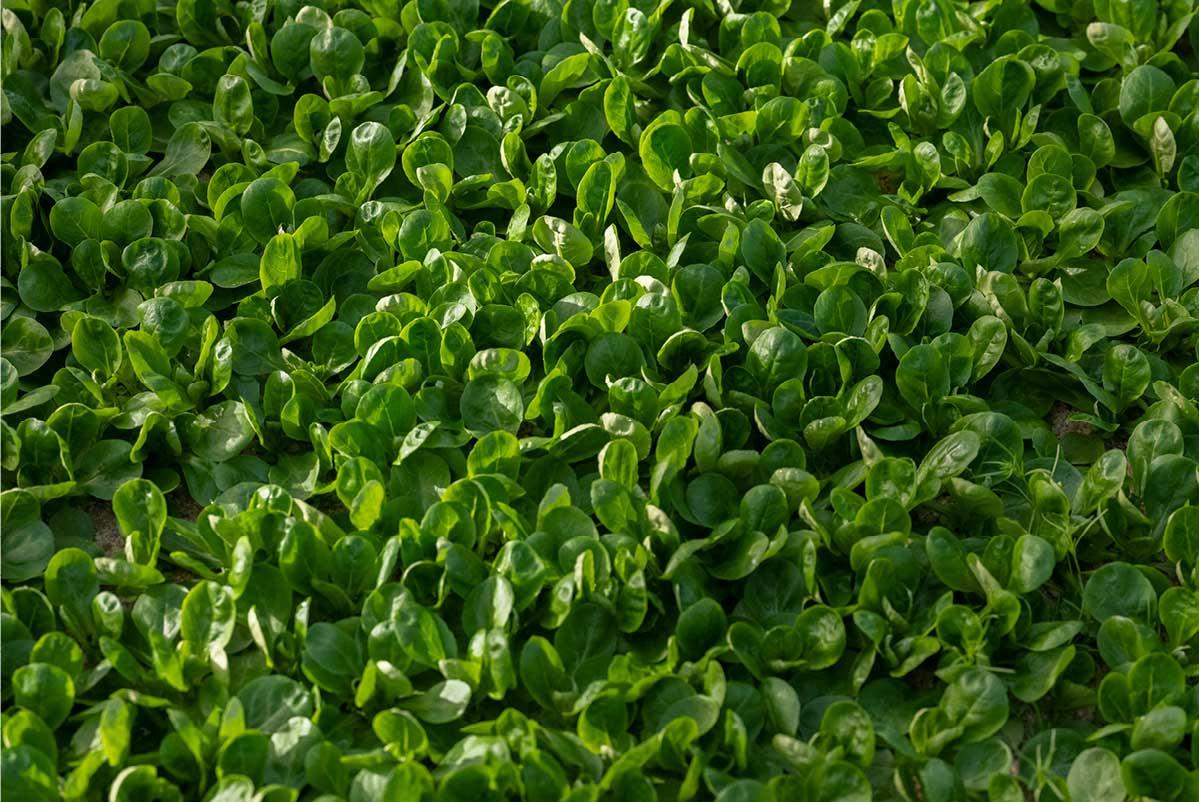 Détail de feuilles de mâche cultivées au Potager Jade