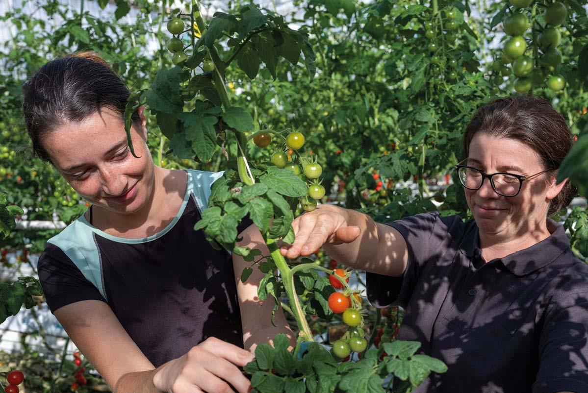 Deux femmes dans une serre de tomates pratiquant l'effeuillage d'un pied de tomates cerise