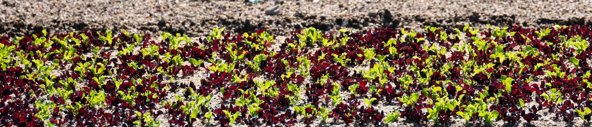 Culture d'un mélange de jeunes pousses de salades, vertes et rouges, en plein champ