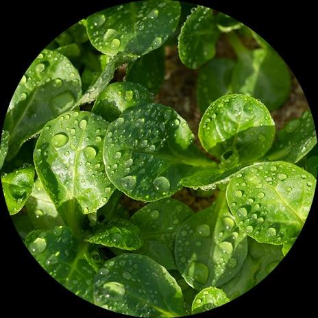 Photo macro de feuilles de mâche en plein champ avec gouttelettes d'eau