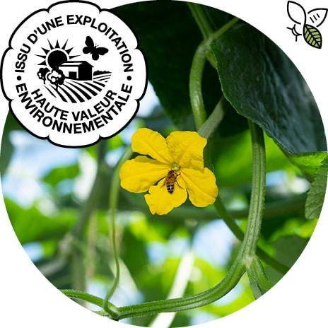 Abeille récoltant le nectar d'une fleur de concombre, picto pollinisateur et logo Haute Valeur Environnementale
