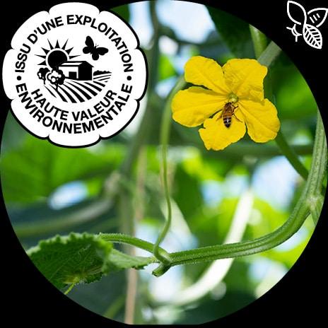 Fleur de concombre butinée par une abeille et logo certification HVE