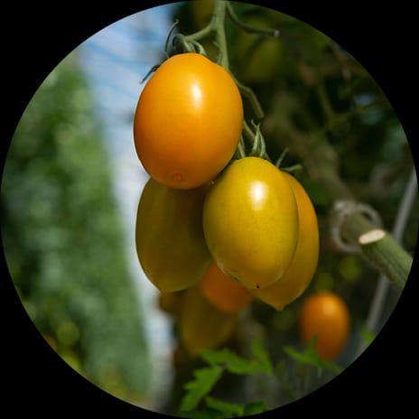 Gros plan sur une grappe de tomate ancienne allongée orange dans une serre du Potager de Jade