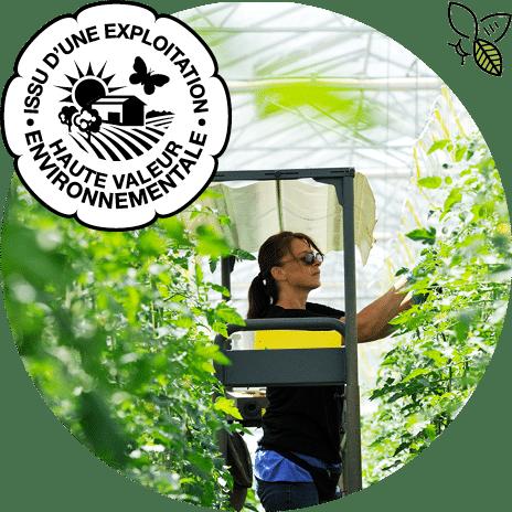 Femme sur un chariot élévateur et travaillant à l'effeuillage dans une serre de tomates, avec logo HVE et picto pollinisateur
