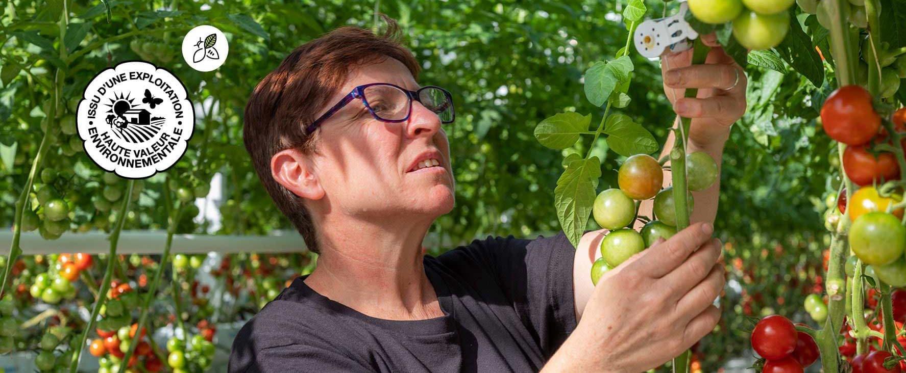 Dans une serre de tomates, installation des tubes libérateurs d'aphidolètes, insectes dont les larves sont prédatrices des pucerons