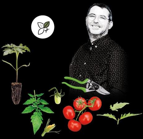 Pied de tomate, sécateur, tomate grappe avec portrait de Jean-René, producteur de tomates grappe et de tomates cocktail