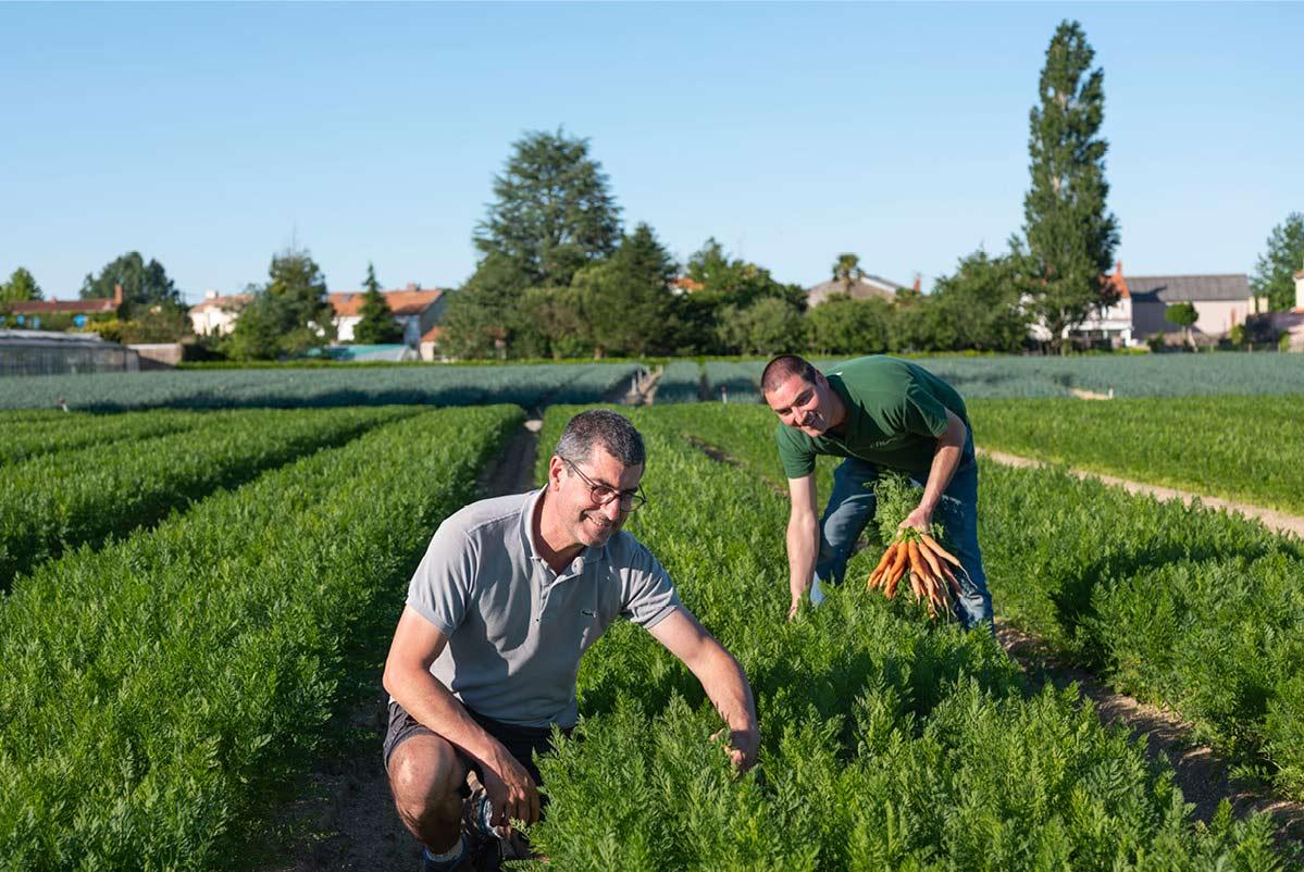 Louis et son frère Bertrand, cueillant des bottes de carottes dans leur champ