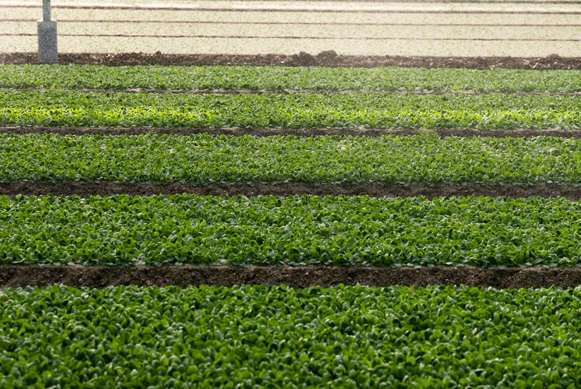 Planches de mâche cultivée en plein champ