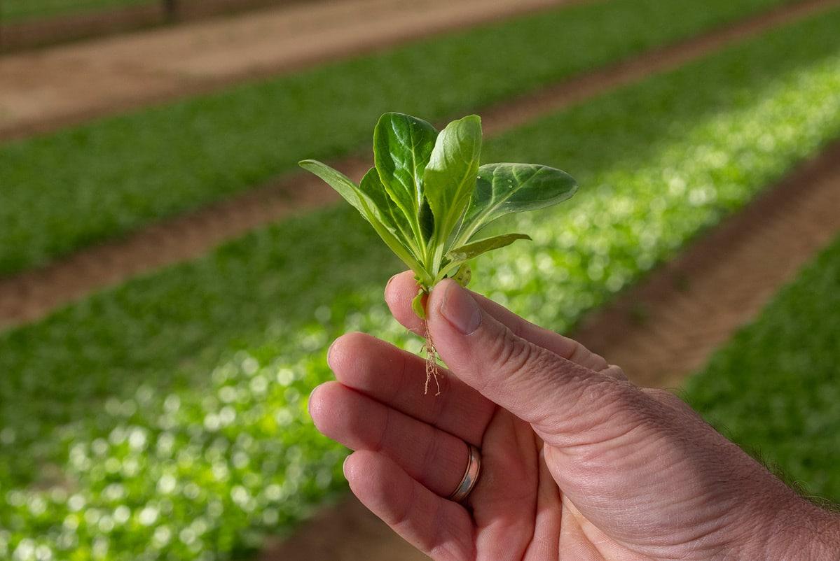 Main de Dominique tenant un petit bouquet de mâche, avec les racines visibles, dans son champ