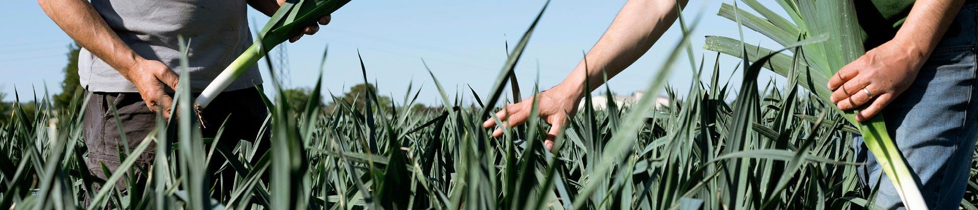 Louis et Bertrand dans leur champ de poireaux primeur sous un ciel clair, photo cadrée sur leurs mains
