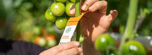 Installation sur un plant de tomate d'un sachet d'auxiliaires de culture pour libérer des Amblyseius swirskii, prédateur de ravageurs tels que les thrips, aleurodes, tarsonèmes
