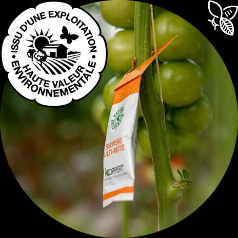 Sachet d'insectes utiles installé sur un pied de tomate pour libérer des Amblyseius swirskii prédateur de ravageurs, avec logo HVE et picto pollinisateur