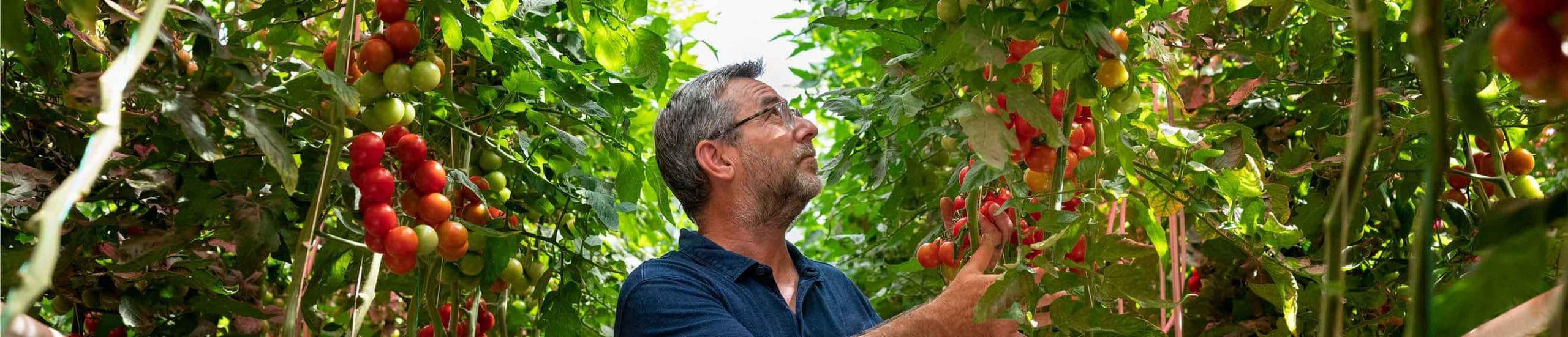 Jean-René observant ses plants de tomates grappe dans sa serre.
