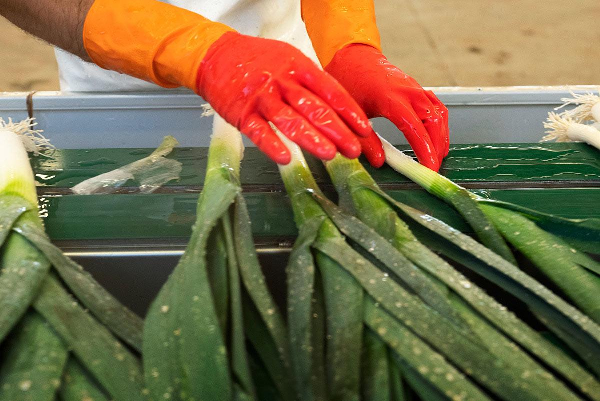 Parage des poireaux à la main, dans un atelier de conditionnement du Potager de Jade
