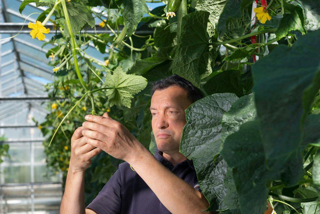 Yannick, dans une serre verre, au milieu de plants de concombres, observant les feuilles et vrilles de concombres
