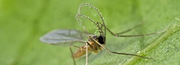 Aphidolète sur une feuille, insecte utilisé en PBI pour la prédation des pucerons
