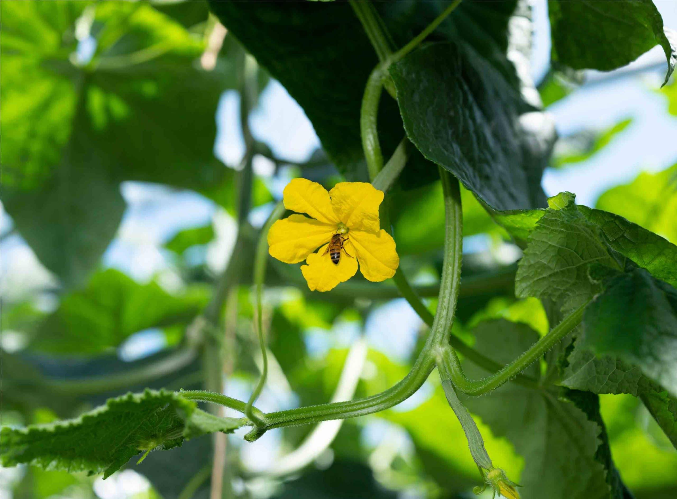 Gros plan sur une abeille domestique butinant une fleur de concombre dans une serre du Potager de Jade
