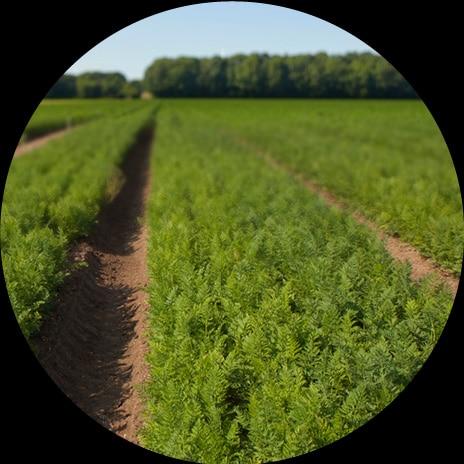 La culture des carottes botte chez Louis et Bertrand