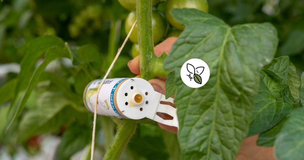 Tube PBI, attaché à un plant de tomates, libérant des aphidolètes, insectes dont les larves sont prédatrices des pucerons